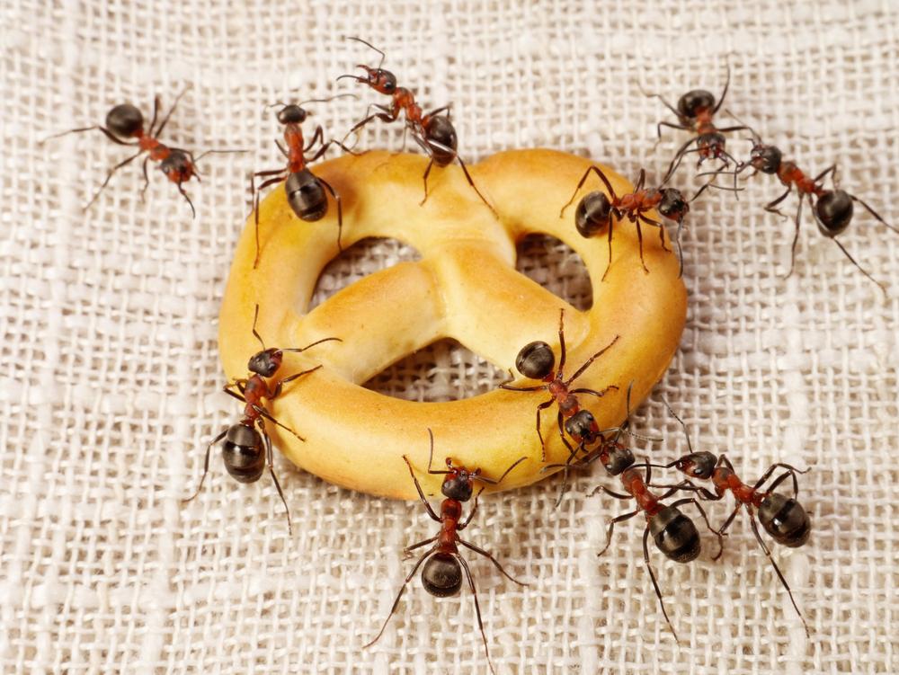 furnici in casa - cum sa scapi de insecte